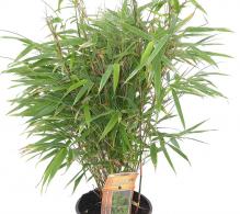 Bambus de gradina (Farsegia rufa) - de vanzare, pret avantajos