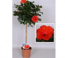 Trandafir japonez (Hibiscus rosa-sinensis) pe picior - de vanzare, pret special