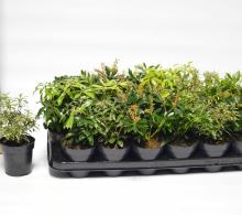 Pieris japonica (Tufis de lacrimioare) | Comanda plante de gradina