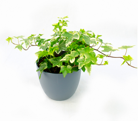 Comanda Iedera de camera, Hedera helix - plante care purifica aerul din interior de vanzare la pret avantajos