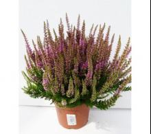 Calluna vulgaris (Iarba neagra)