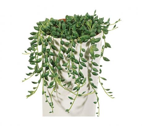 Senecio herreianus (planta mazare sau sirag de perle) - de vanzare plante suculente
