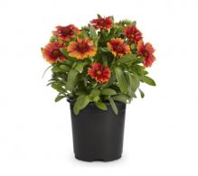 Gailardia, roata de foc (Gaillardia aristata) - flori de gradina de vanzare