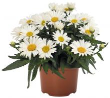 Margareta - Leuncanthemum maximum -  flori de gradina perene de vanzare