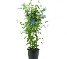 Floarea dragostei - Plumbago auriculata - flori de gradina perene
