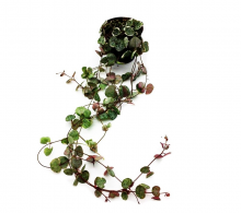 Ceropegia woodii (Lantul inimilor) - Plante de apartament