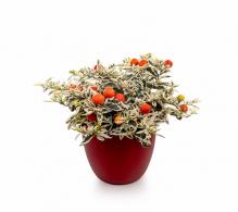 Marul iubirii (Solanum pseudocapsicum `Variegatum`) - plante de interior de vanzare
