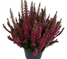 Calluna vulgaris (Iarba neagra) de vanzare flori de gradina