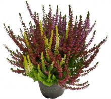 Iarba neagra (Calluna vulgaris) - plante de gradina de vanzare