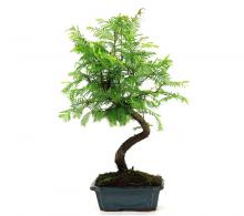 Bonsai Metasequoia