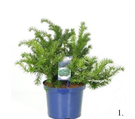 Tisa - Taxus baccata Plante de vanzare