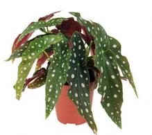 Comanda Begonia maculata - `Polka Dot` -  plante ornamentale