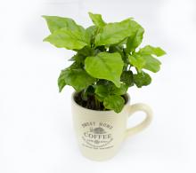 Comanda Arbore de cafea in cana (Coffea arabica) - plante de apartament