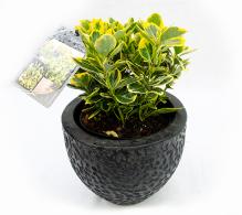 Comanda Euonymus pentru gard viu (Euonymus japonicus) - plante de vanzare