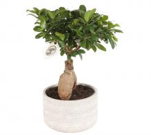 Comanda Ficus microcarpa `Ginseng` - plante de apartament, bonsai