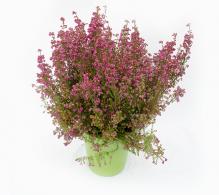 Comanda Erica gracilis - plante ornamentale de gradina
