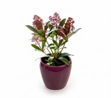 Comanda Liliac japonez - Skimmia japonia `Rubella` - arbusti ornamentali online