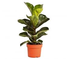 Comanda Ficus lyrata Bambino (smochiul lira, sau falsul smochin) flori de apartament