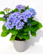Comanda hortensia cu flori