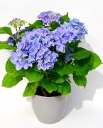 Comanda Hortensia - Hortensia cu flori - Plante de gradina