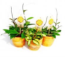 Comanda Floarea Maicii Domnului - Hoya carnosa - flori de apartament