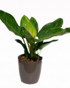 Comanda Filodendron - Philodendron imperial - purifică aerul