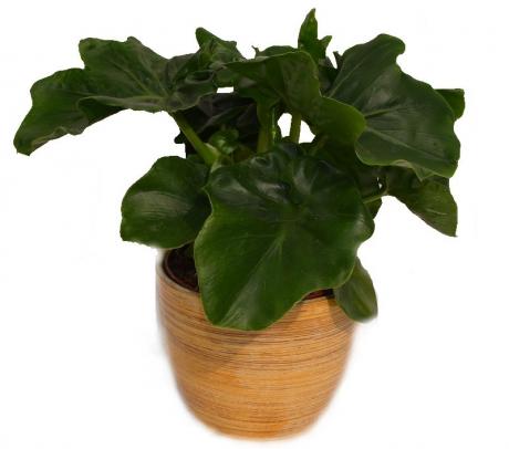 Filodendron Atom- Philodendron atom - purifica aerul - plante de vanzare