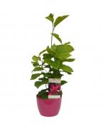 Comanda Magnolia nigra - magnolia pret  - plante de gradina