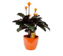Comanda Calathea crocata - plante de interior de vanzare