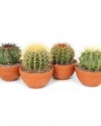 Comanda Cactus - cactusi si plante suculente de vanzare