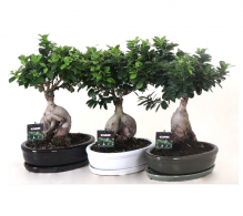 Bonsai Ficus Microcarpa Ginseng - ficus ginseng - bonsai de vanzare