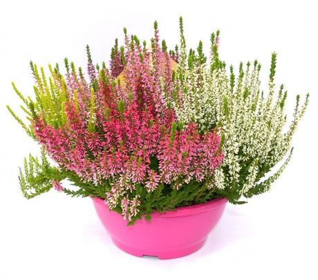 Calluna vulgaris - plante de gradina - flori de toamna