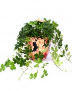 Partenocisus striata - plante de apartament de vanzare