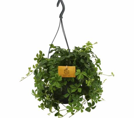 Partenocissus striata - plante de apartament de vanzare