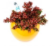 Comanda Abelia - Flori de gradina