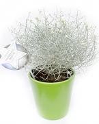 Comanda Calocephalus  - Planta argintie