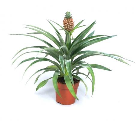 Comanda Ananas la ghiveci (Ananas comosus) - flori de apartament