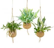 Comanda Plante Kokodama - Ferigi Kokodama - plante de apartament