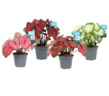 Comanda Caladium (Caladium bicolor) - plante de apartament
