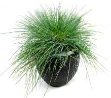 Comanda Festuca glauca  - iarba albastra decorativa Festuca