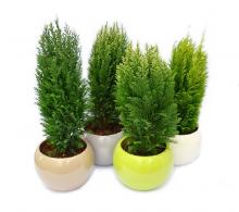 Comanda Conifere mixt 40-45 cm