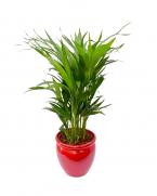 Comanda Palmier Areca H 65 cm - plante care purifica aerul