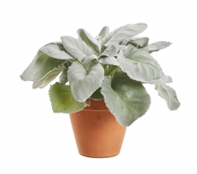 Comanda Senecio candicans `Angel Wings` - plante de interior