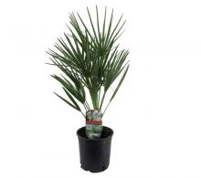 Comanda Chamaerops humilis (palmierul evantai) - palmier rezistent