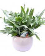 Feriga Phlebodium Blue Star - plante de apartament