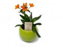 Comanda Ornithogalum dubium - Steaua din Betleem - flori de apartament