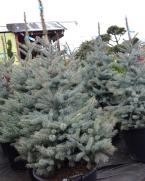 Comanda Molid argintiu H 150 cm (Picea pungens Edith) - Brazi de Craciun