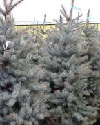 Comanda Molid argintiu H 170 cm (Picea pungens Edith) - Brazi de Craciun