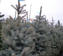 Comanda Molid argintiu H 200 cm (Picea pungens Edith) - Brazi de Craciun