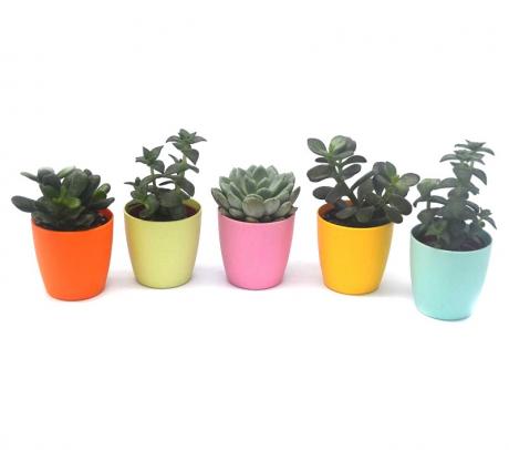 Comanda plante suculente cu ghiveci magnetic - suculente de interior